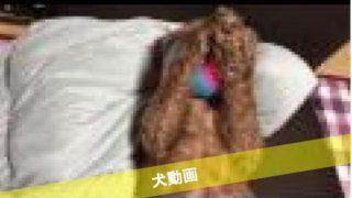 トイプードルりんのピコピコ(動画)